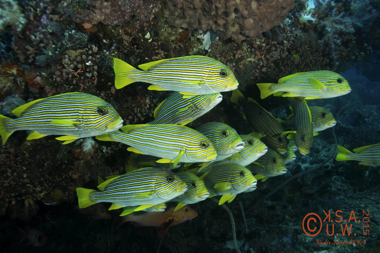 2015-07-20-3443Plectorhinchus polytaenia