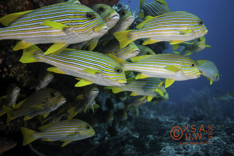 2015-07-20-3445Plectorhinchus polytaenia