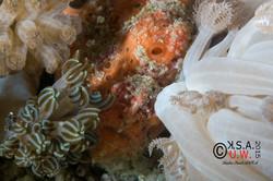 2015-07-19-3316Antennarius pictus