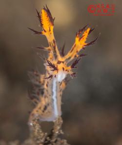 2015-07-28-6203 Dendronotus regius Pola & Stout, 2008