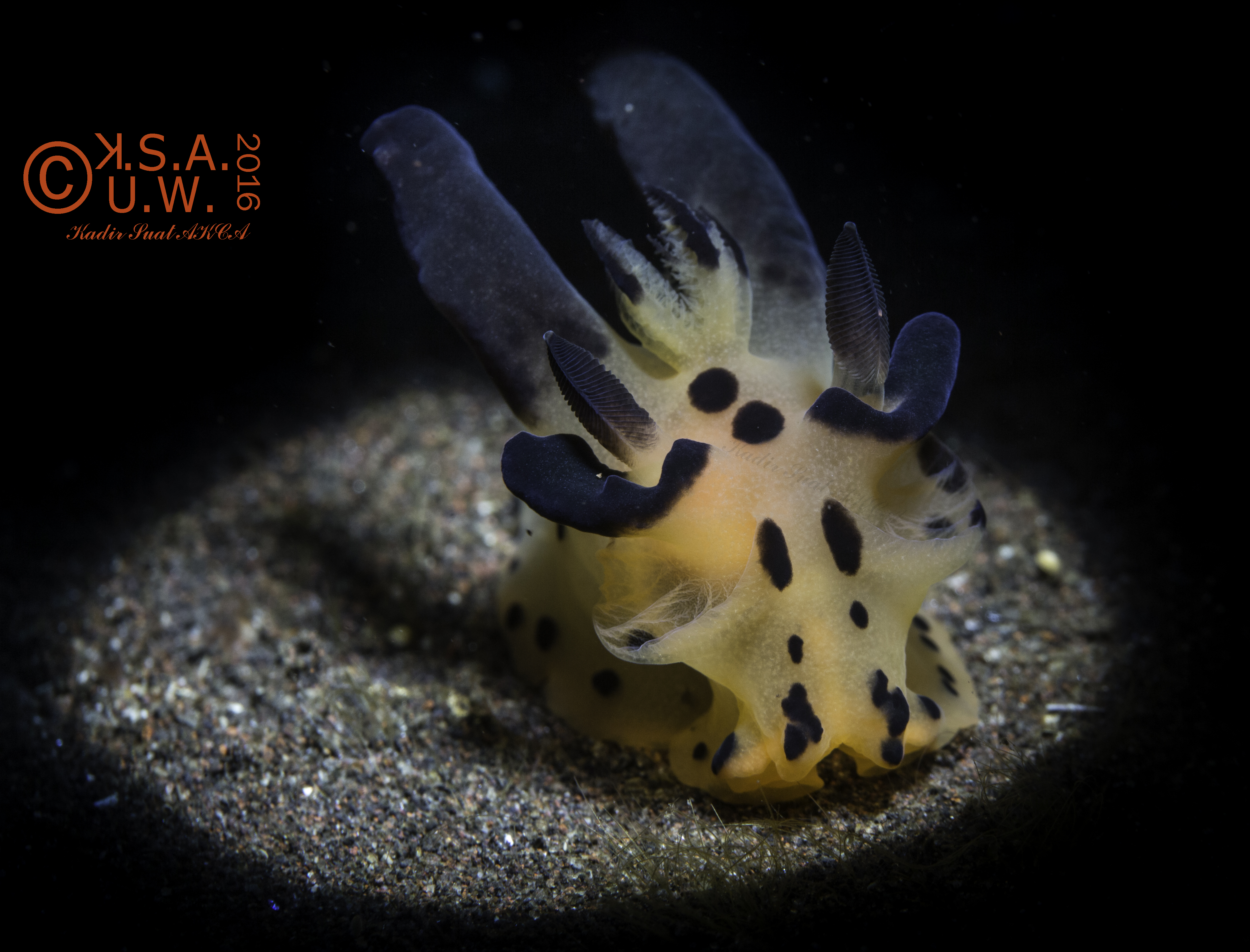 2016_06_27_6237Thecacera sp.