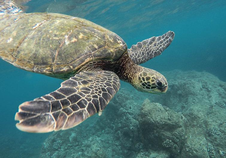 beautiful-closeup-shot-large-turtle-swim