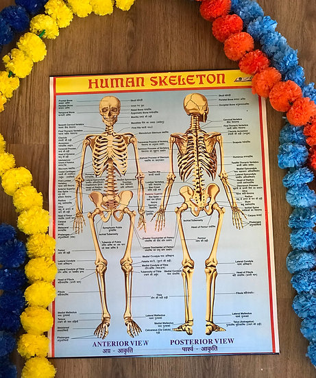 Indian School Poster - Human Skeleton