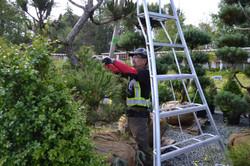Japanese Pruning