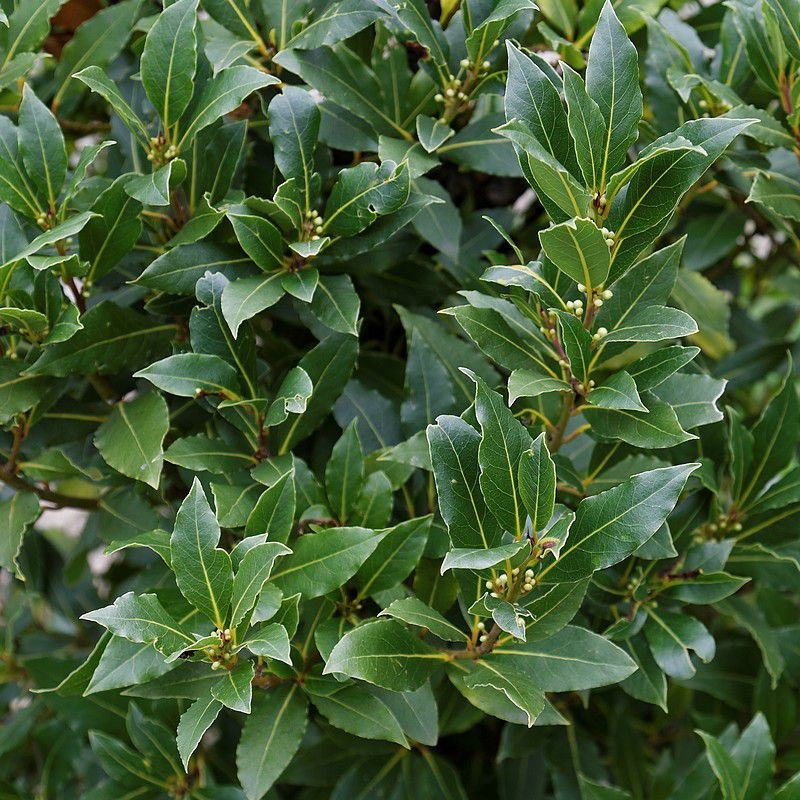 Laurier noble herbier des Garrigues