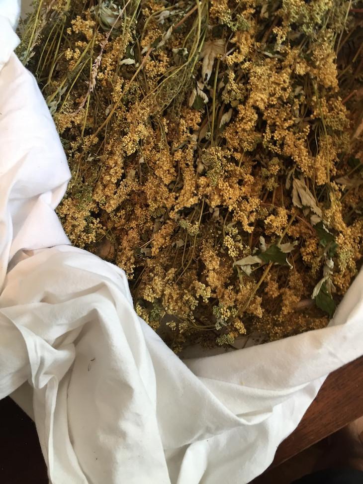 Reine des Près Herbier des garrigues séc