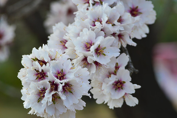 amandier en fleurs herbier des Garrigues
