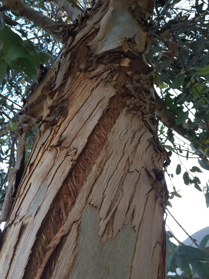 Eucalyptus_Tronc.JPG