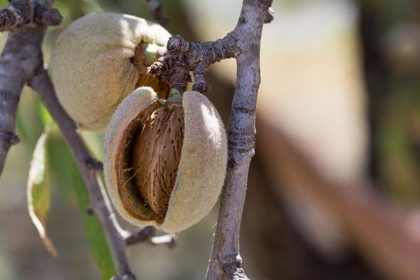 herbier des Garrigues amandier.jpg