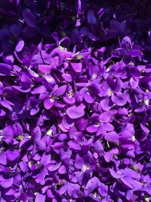 fleurs de violette-viola odorata