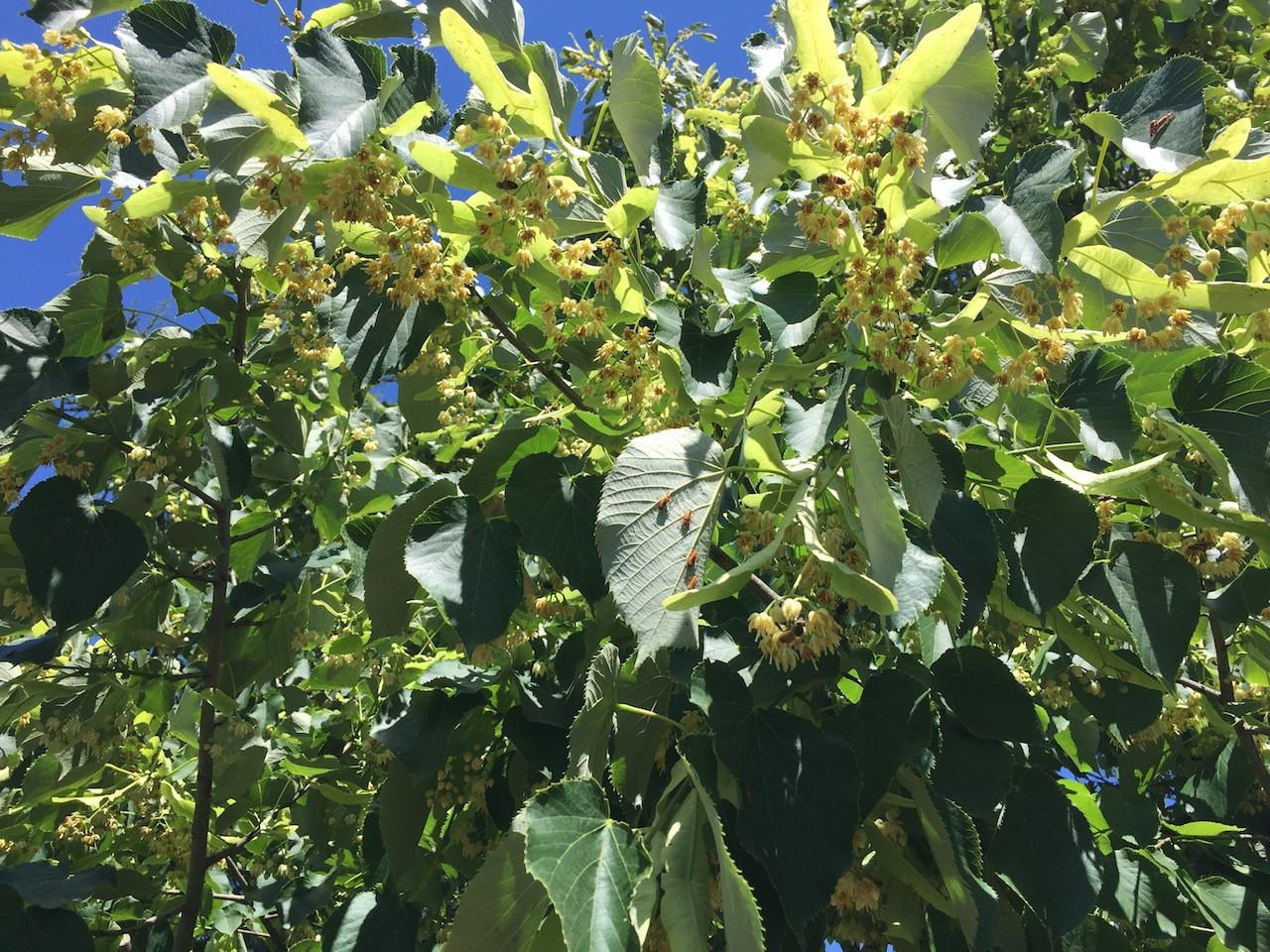 Tilleul arbre.JPG