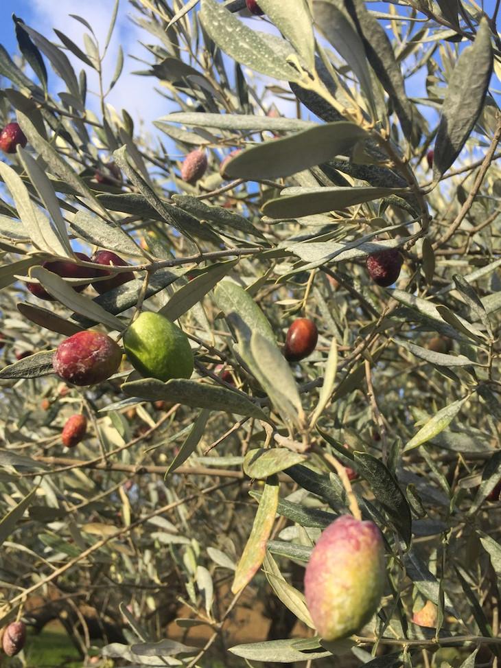 Olives Herbier des Garrigues.JPG