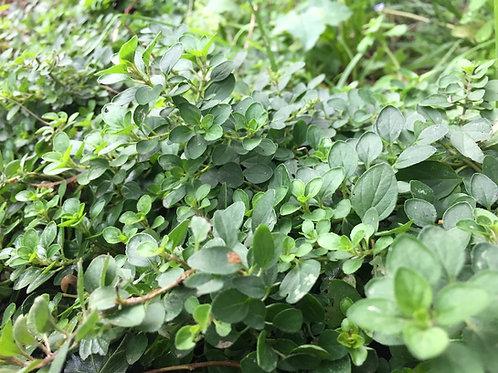 Plants Origan