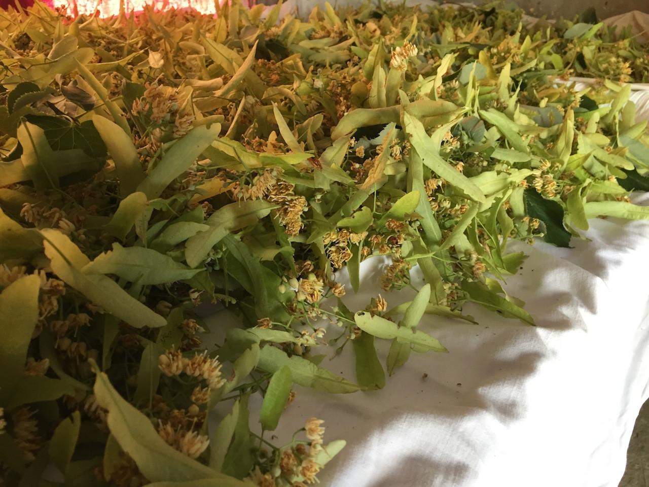 cueillette du tilleul herbier des Garrig