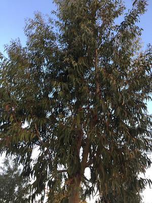 Eucalyptus_Arbre.JPG