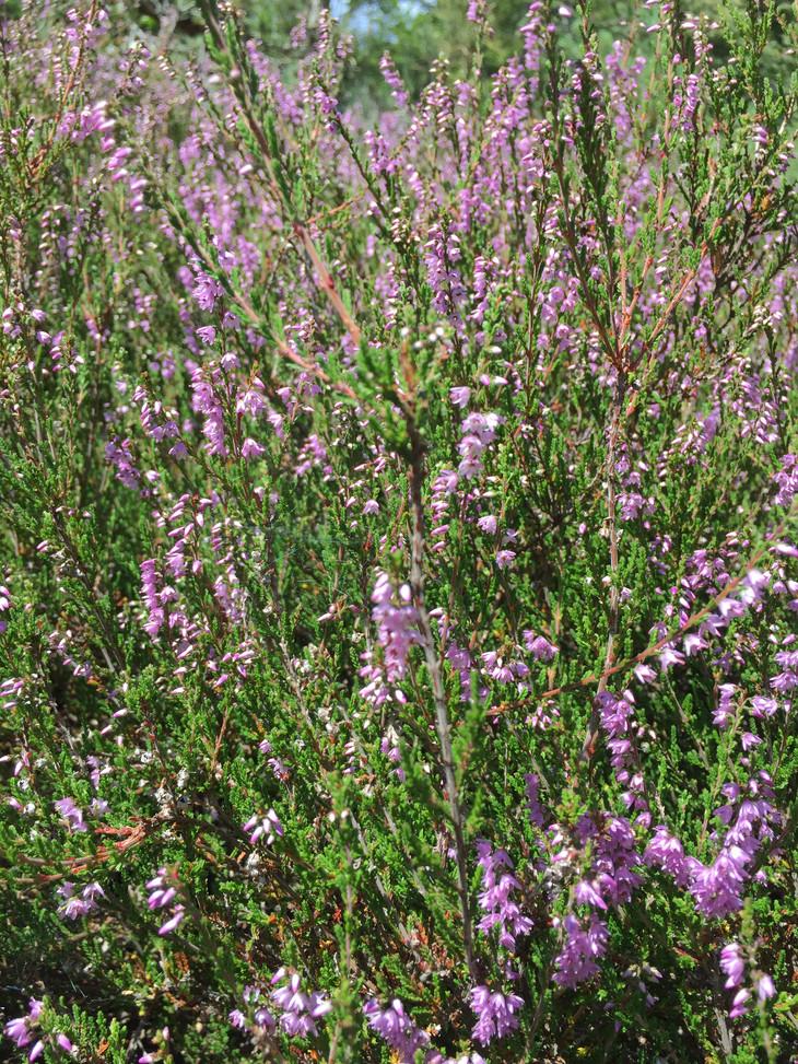 Bruyere_Plantes en fleurs.JPG