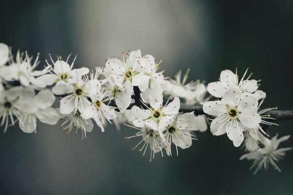 prunellier branche .jpg