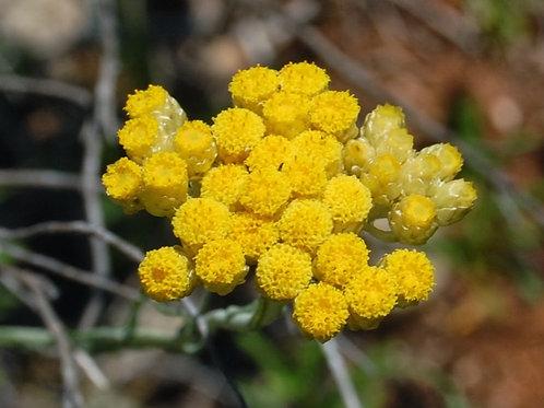 Plants Hélicrhyse italienne