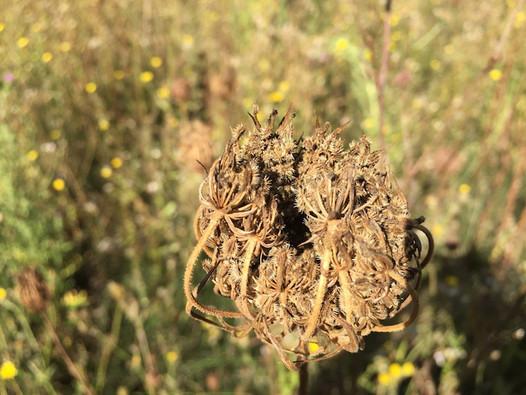 Carotte sauvage herbier des Garrigues.JPG
