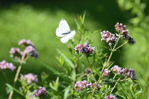 fleurs d'Origan herbier des Garrigues