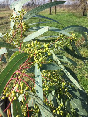 bourgeons d'eucalyptus.JPG