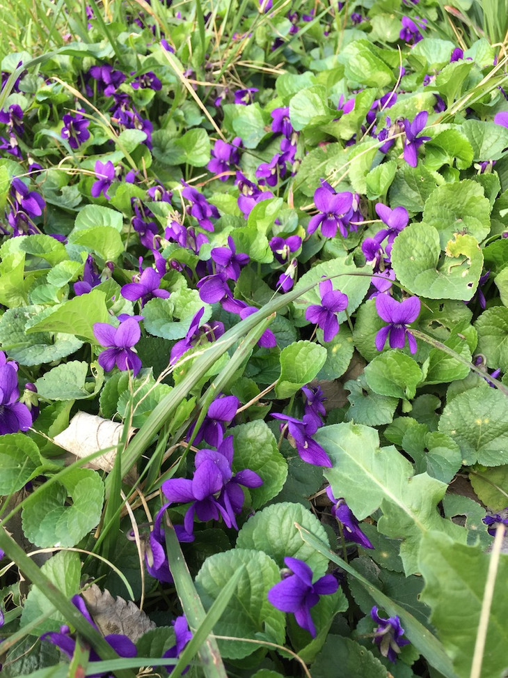 Violette Herbiers des Garrigues