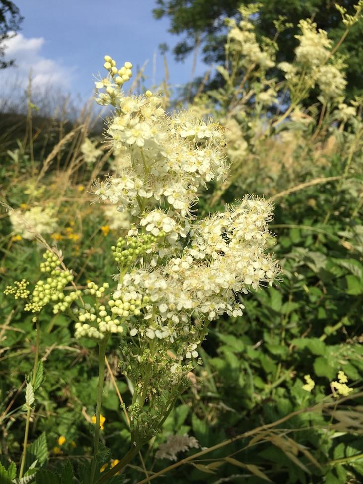 Fleurs Reine des Près  HBG