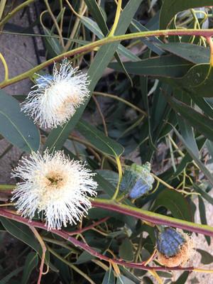 Eucalyptus_Fleurs.JPG