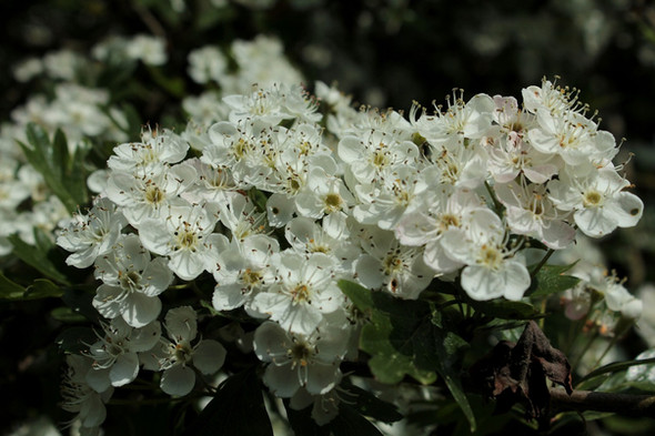 Prunellier en fleurs