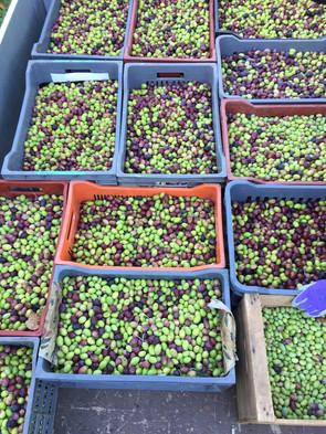 cueillettes des olives.JPG