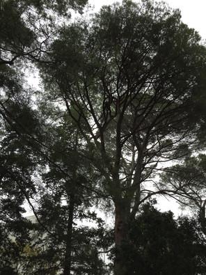Pin d'Alep arbre