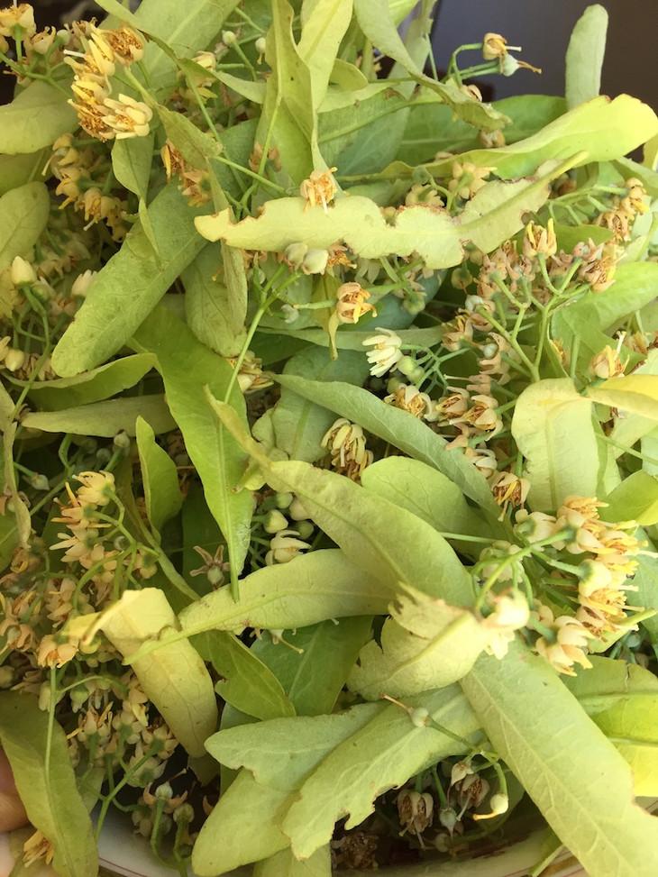feuilles et fleurs du Tilleul.JPG