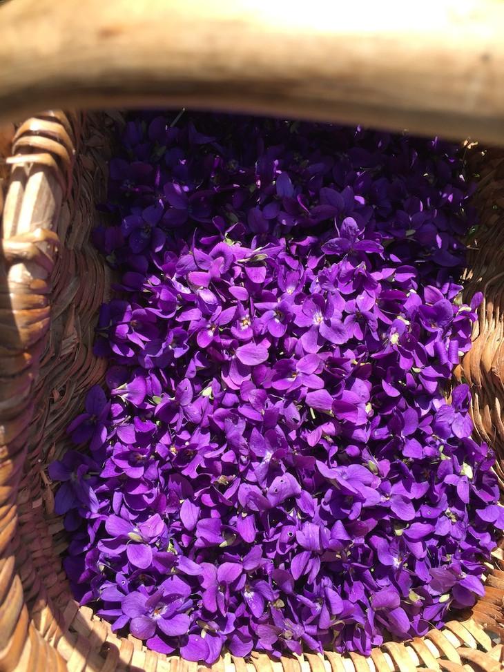 panier de violette herbier des Garrigues
