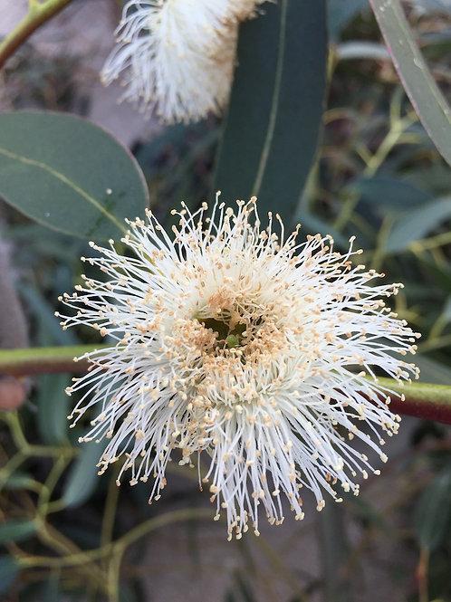 Plants Eucalyptus globulus (30-50cm)