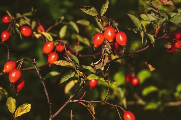 buisson églantier