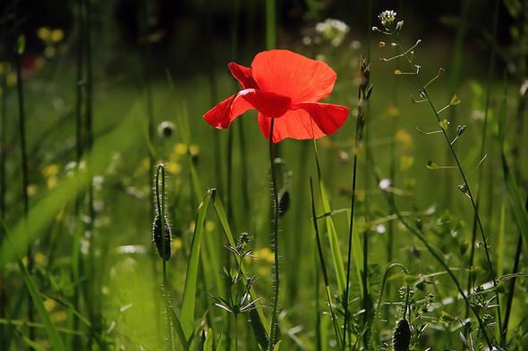 fleurs de coquelicot
