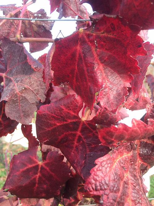 Vigne rouge - Vitis vinifera