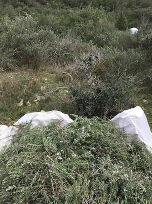 romarin coupé herbierdesgarrigues.JPG