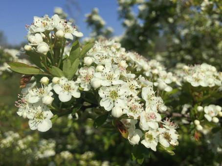 Récolte de fleurs d'Aubépine...