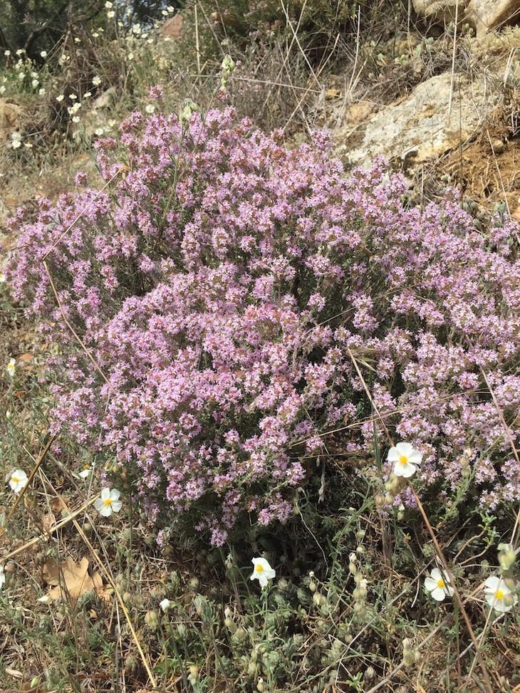 Thym.Herbier des Garrigues