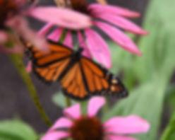 Monarch butterfly Tamaqua Pennsylvania