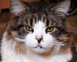 Ed the Maine Coon Cat, Oren B Helbok photo
