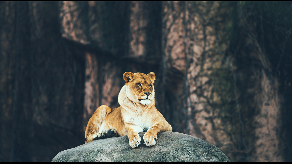 Sitzende Löwin