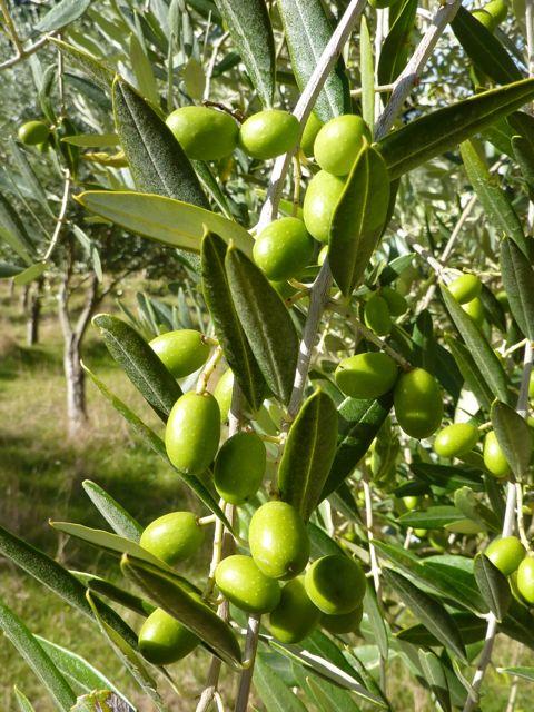 OLIVE TREE 17
