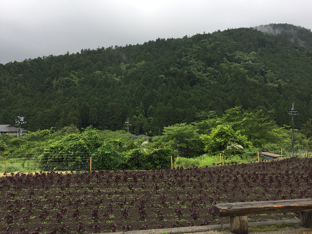 Red shiso field in Ohara, Kyoto