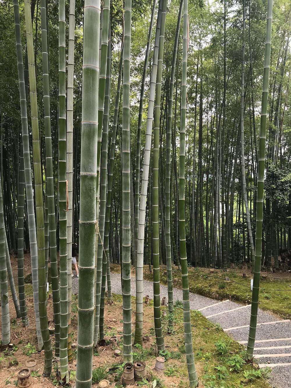 Bamboo grove, Kodaji temple