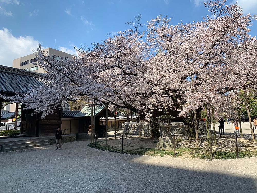 Cherry blossom at Tochoji temple