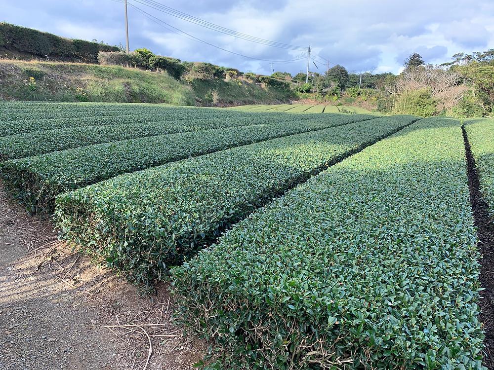 日本で一番早く茶摘みをするみたいです