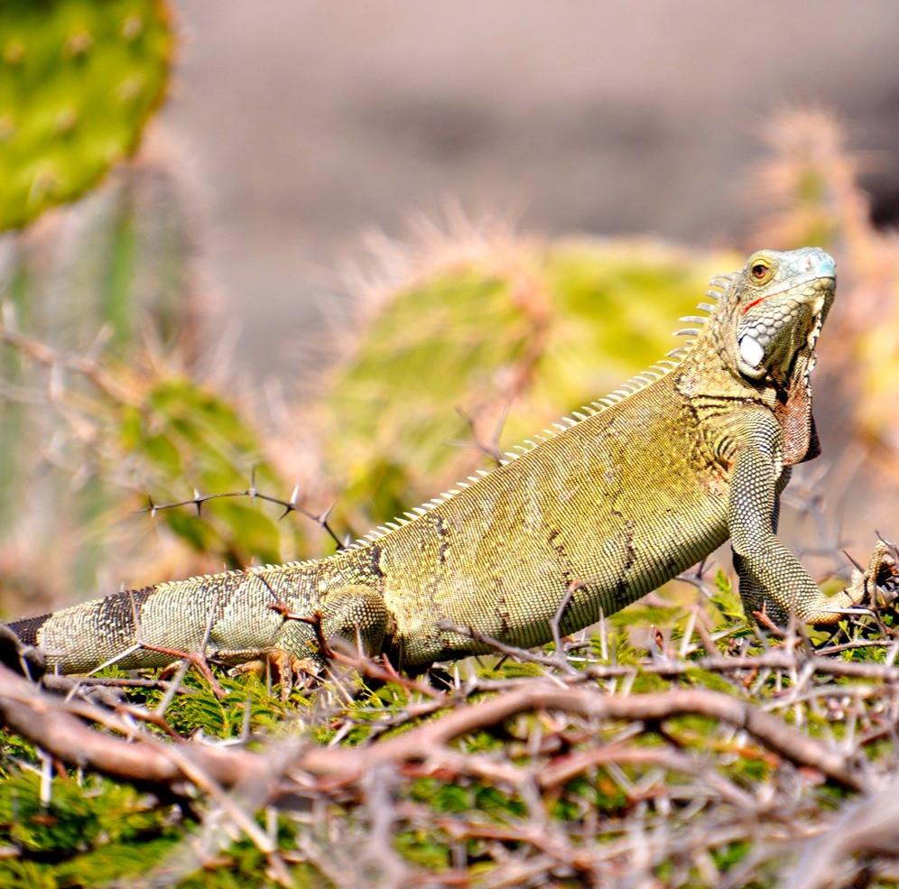 Leguane im Shete Boca Nationalpark