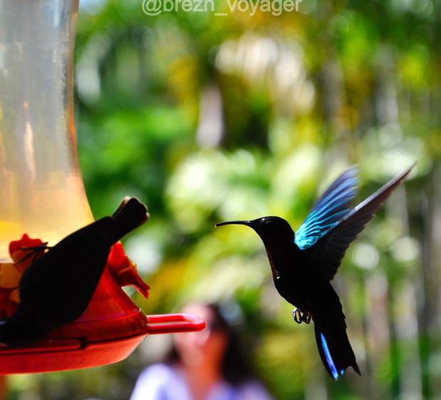 Kolibries im Jardin de Balata